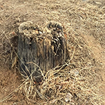 Stump from one of the original 90 ft poles, erected in 1954
